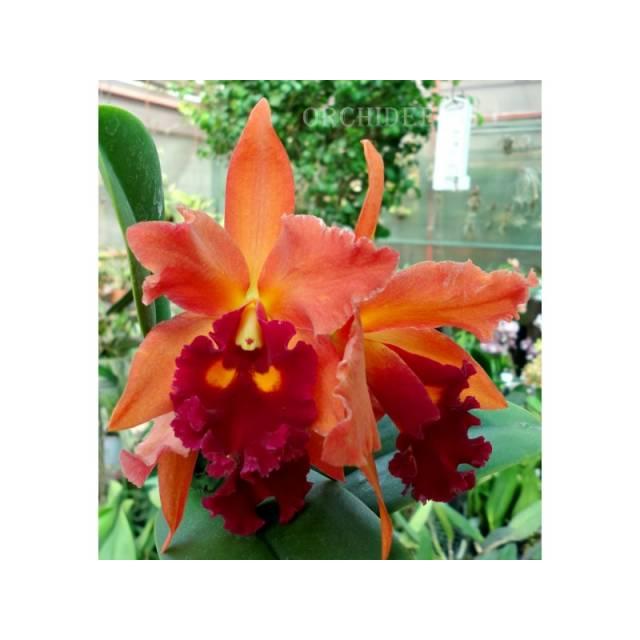 Cattleya hybrid 028