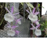 Dendrobium aphyllum x primulinum