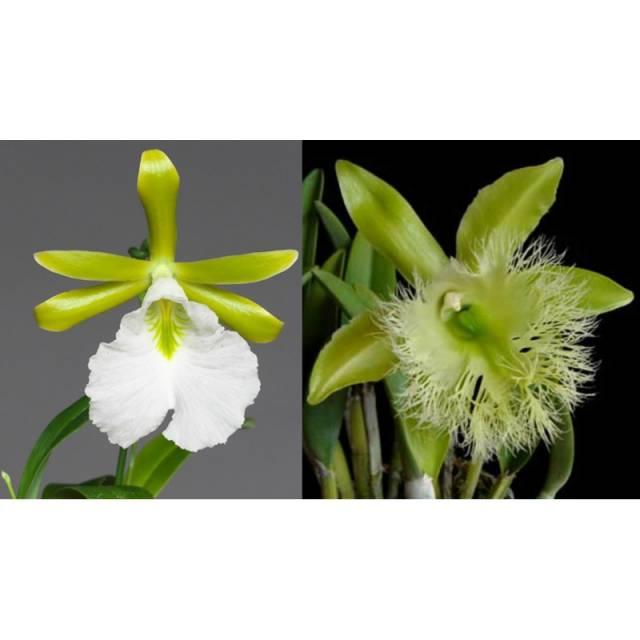 Encyclia  mariae x Brassavola digbyana
