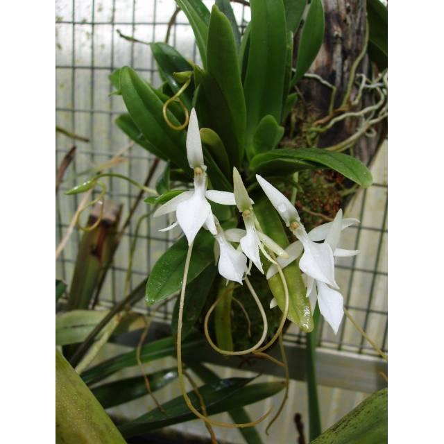 Jumellea densifoliata