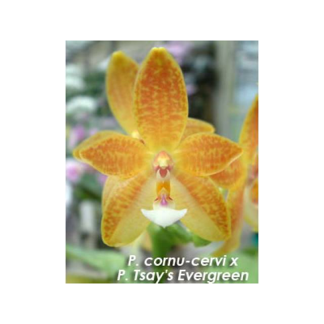 Phalaenopsis cornu-cervi x Tsay's Evergreen