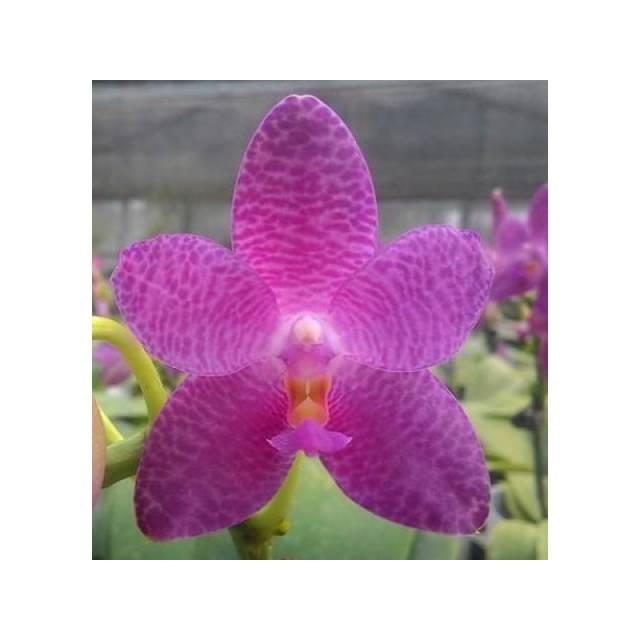 Phalaenopsis Mok Choi Yew x sib