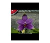 Phalaenopsis violacea indigo x sib