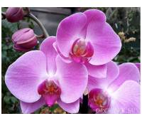 Phalaenopsis PH 080/1 Happy Valentina