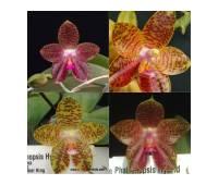 Phalaenopsis LD's Bear King x gigantea