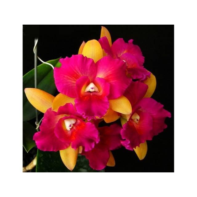 Brassolaeliocattleya Tzeng-Wen Beauty