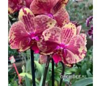 Phalaenopsis PH 320 Ark's Ray