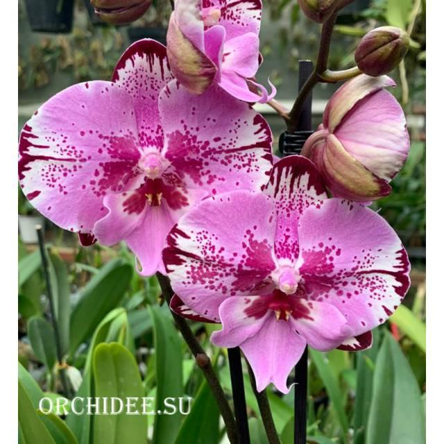 Doritaenopsis DTPS 004/2  Big Lip Gan Lin Beauty