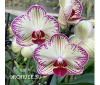 Phalaenopsis PHM 164 Fragmei Sweet