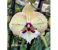 Phalaenopsis PH 321 Big Lip