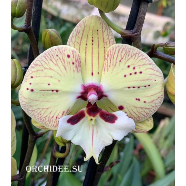 Phalaenopsis PH 321 Big Lip