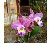 Brassolaeliocattleya Durigan Cruzeiro de Sul