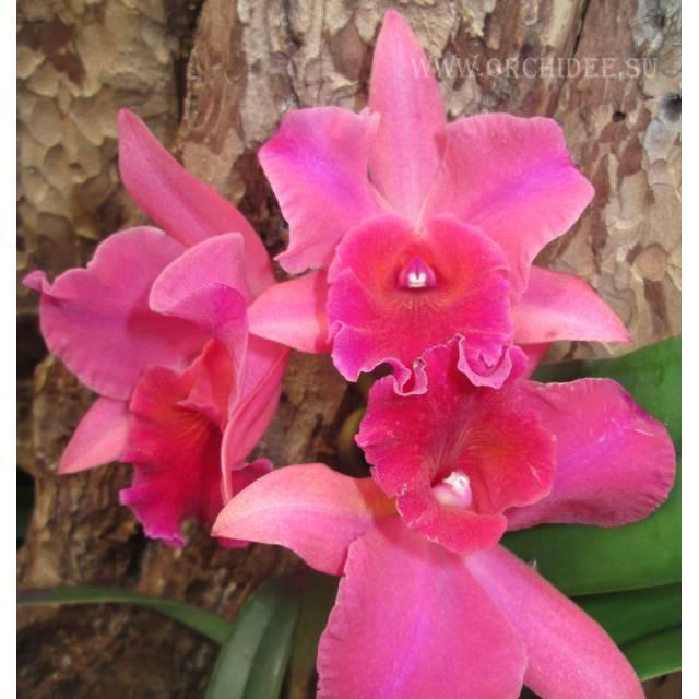 Brassolaeliocattleya Yuany KY6