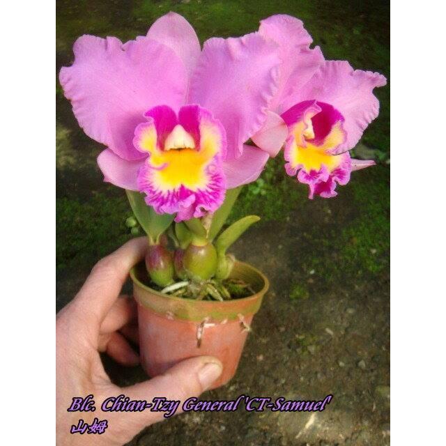 Brassolaeliocattleya Chian-Tzy General 'CT Samuel'