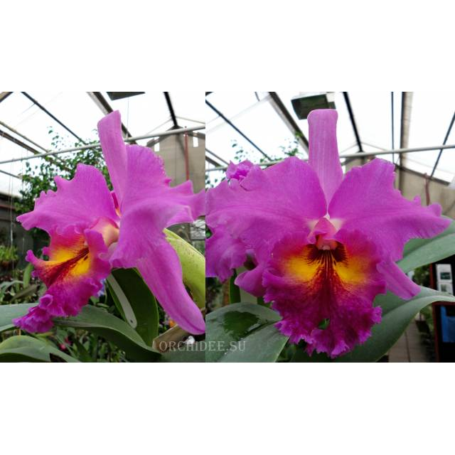 Brassolaeliocattleya King of Taiwan 'Golden Moon'