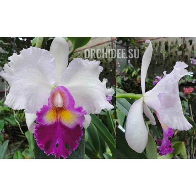 Rhyncholaeliocattleya Mishima Monarch'Blumen Insel'BM/JPG, SM/JOGA
