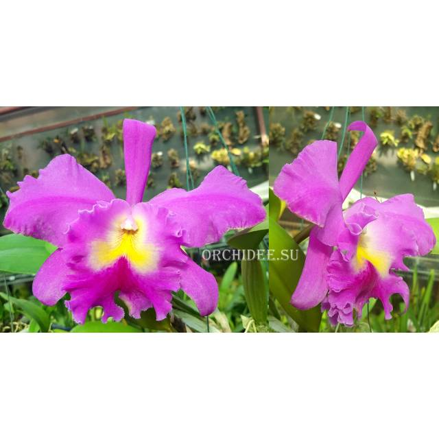 Rhyncholaeliocattleya Pink Empress