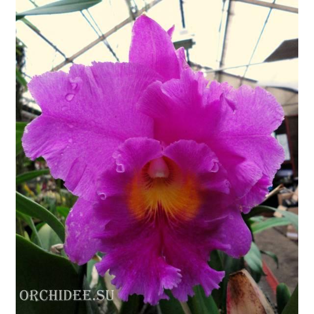 Brassolaeliocattleya Pink Empress 'Ju Sen'