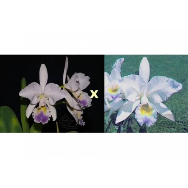 Cattleya gaskelliana coerulea (Aida x Altxis) x coerulescens Mimi