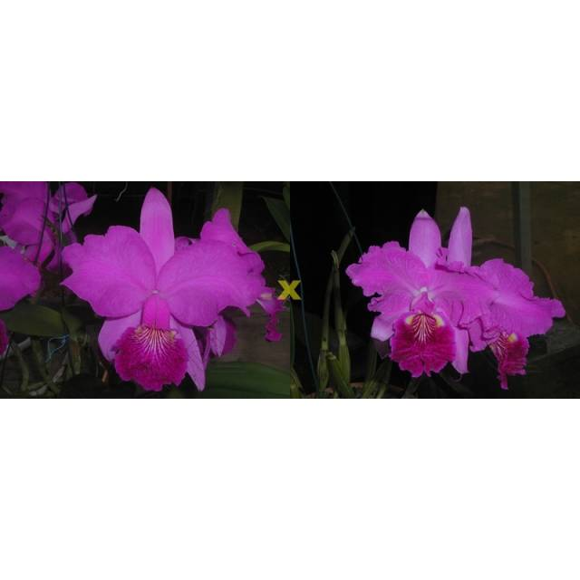 Cattleya lueddemanniana (rubra 'Dark Giant' x dark 'Fennel IX'