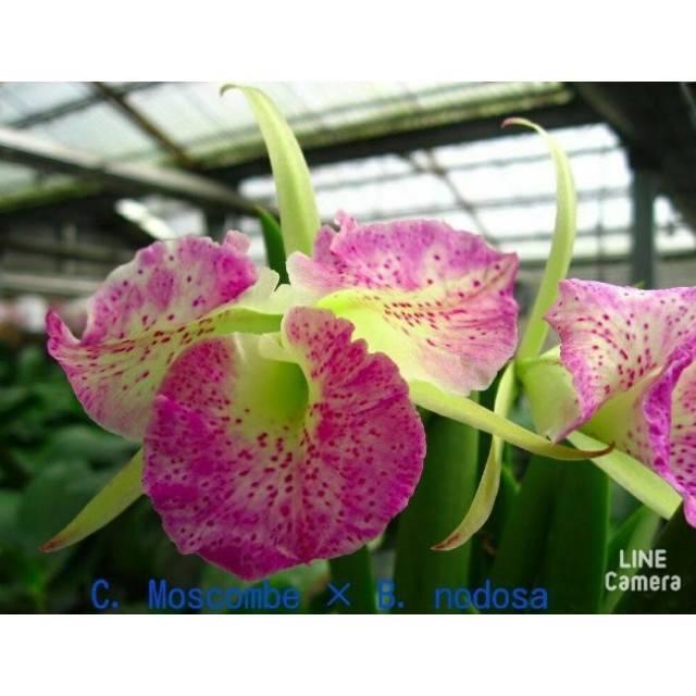 Cattleya Moscombe × Brassavola nodosa