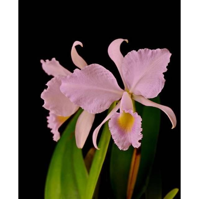 Cattleya trianae var. coerulea x sib