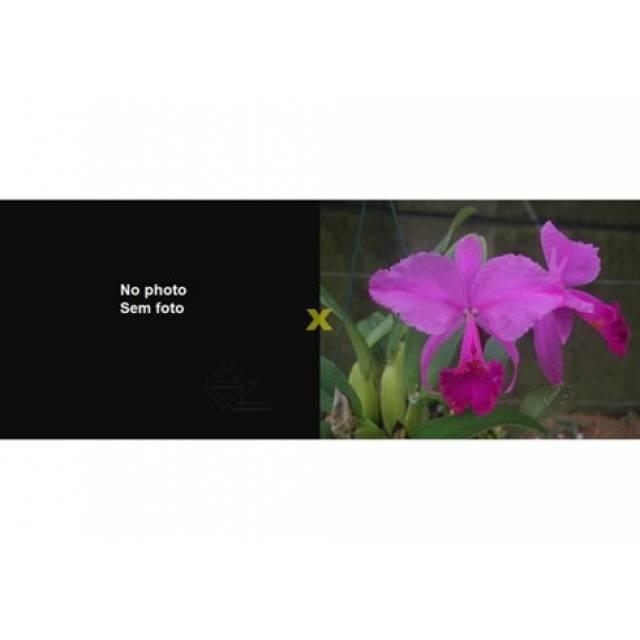 Cattleya trianae rubra ('Eclipse' x 'Sangre de Toro II)