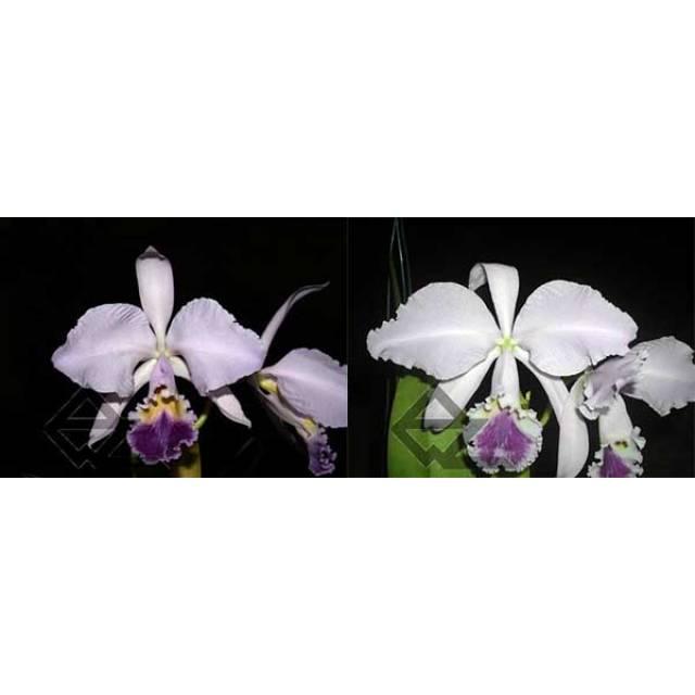 Cattleya warneri coerulea ('Suzuki' x 'Z-351')