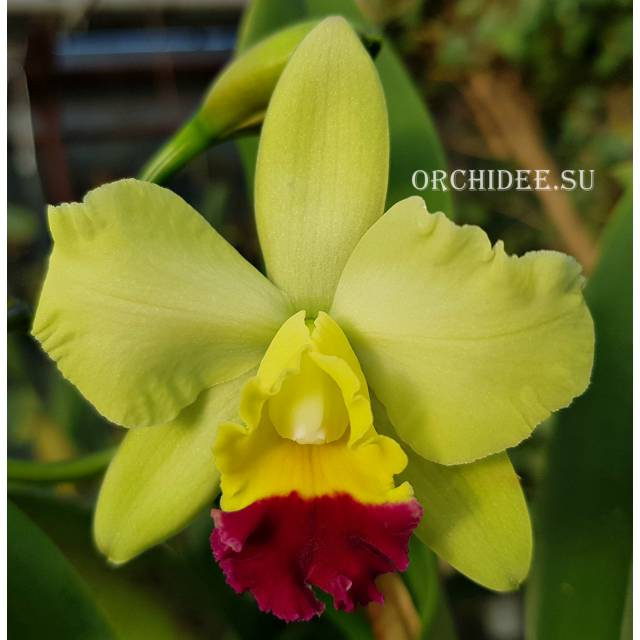Cattleya hybrid 036