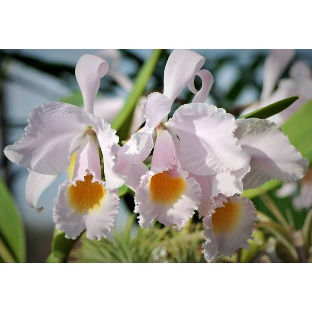 Cattleya schroederae