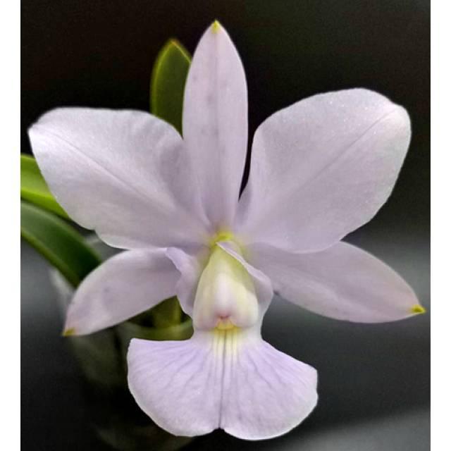 Cattleya walkeriana var blue × sib