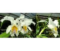 Cattleya mossiae var. reineckeana