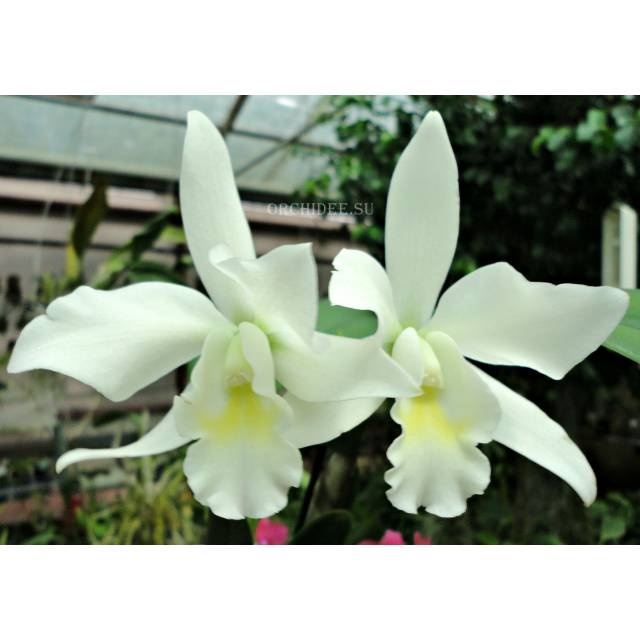 Cattleya hybrid 013