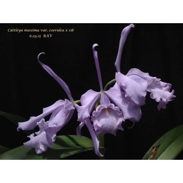 Cattleya maxima coerulea x sib