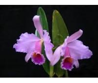 Cattleya percivalliana 'Henrique Ji' x 'La Orquidea'