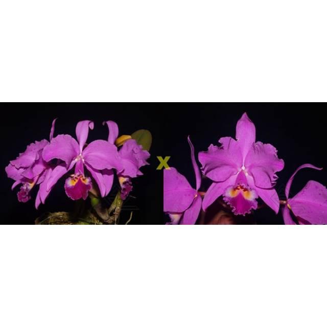 Cattleya warneri (rubra 'Jetiba' x escura 'Belezinha')