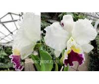 Cattleya hybrid 024