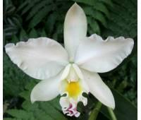 Cattleya hybrid 027