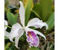 Cattleya maxima var. semi-alba x sib
