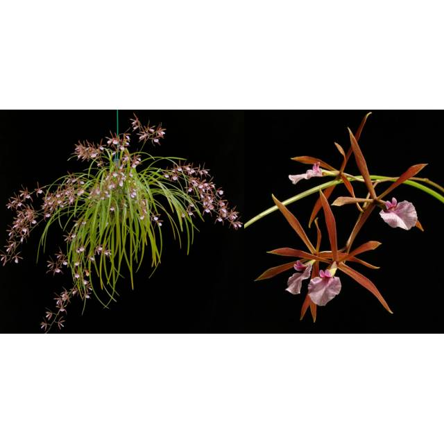 Encyclia bractescens