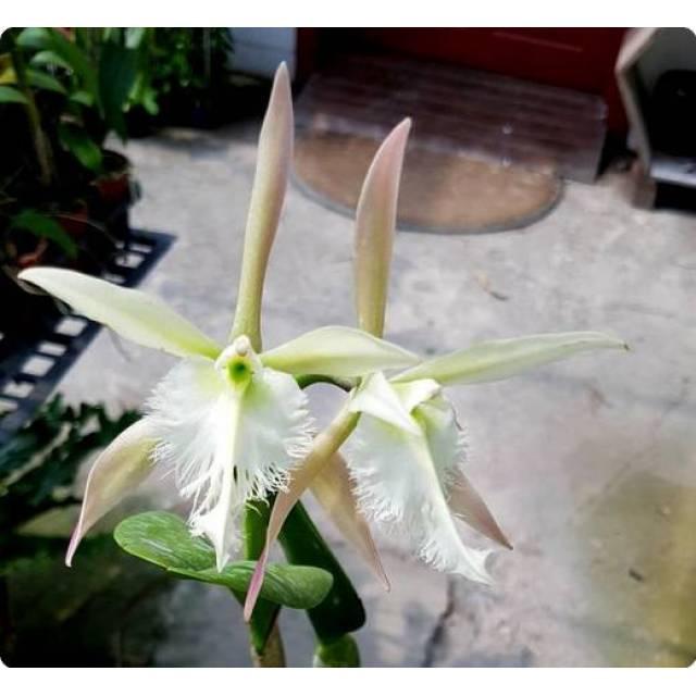 Epidendrum ciliare x Rhyncholaelia digbyana