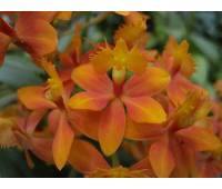 Epidendrum radicans 'Orange'