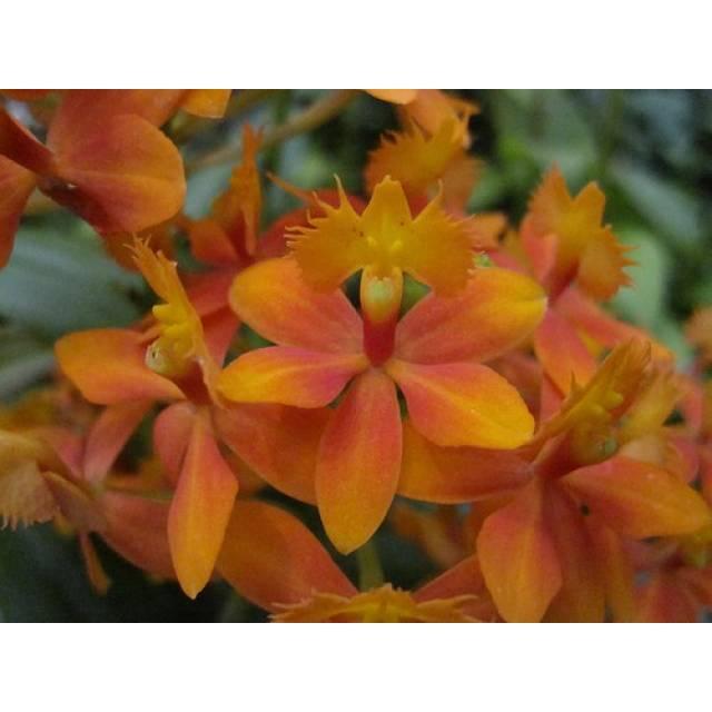 Epidendrum radicans 'Orange'