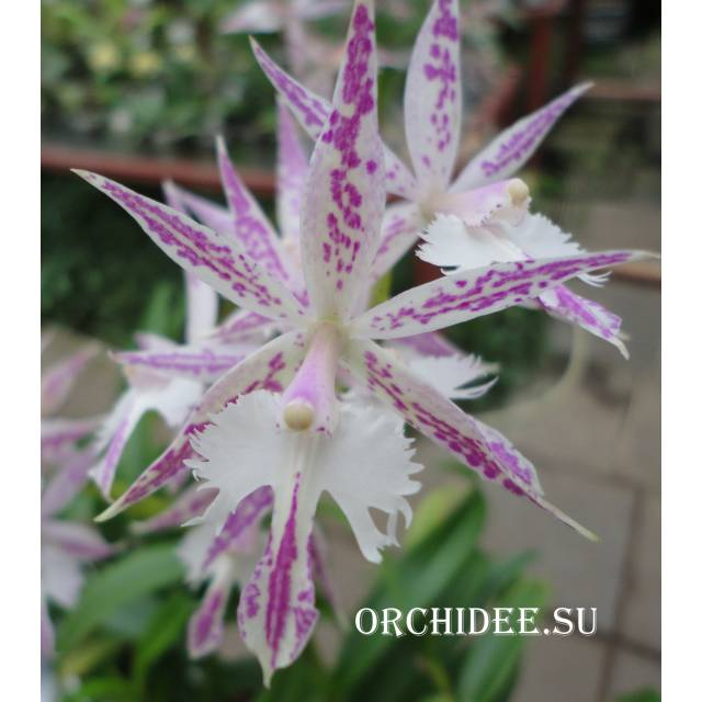 Epidendrum criniferum х Barkeria spectabilis