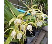 Epidendrum ciliare hybrid