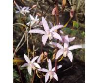 Laelia alvarenguensis