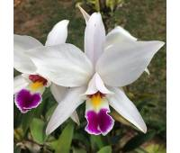 Laelia anceps semi-alba x self