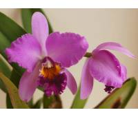 Cattleya Tim Treasure x Potinara Chatoyant