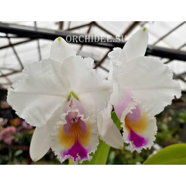 Cattleya quadricolor semi alba