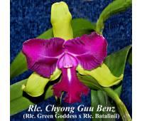 Rhyncholaeliocattleya Chyong Guu Benz